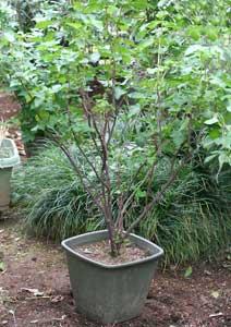 ブラックカラントの鉢植え