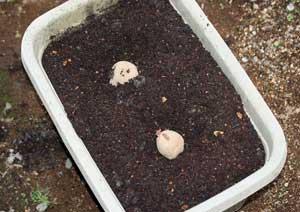 ジャガイモの種芋を植え付け