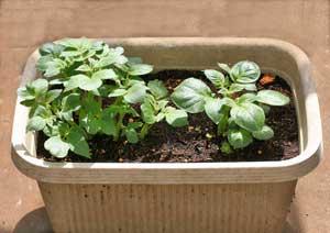 芽かき前のジャガイモの株