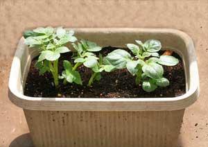 芽かき後のジャガイモの株