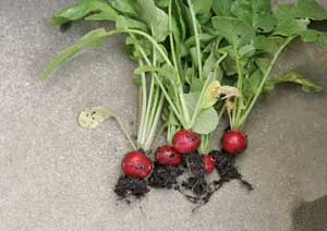 はつか大根の収穫方法