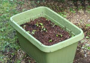 小カブの苗の植え付け