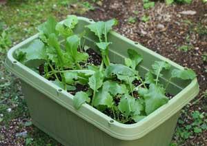 小カブの土寄せと肥料