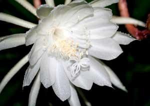 月下美人の花のマクロ撮影