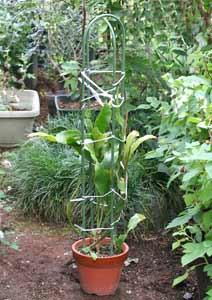 月下美人の鉢植え 8号鉢