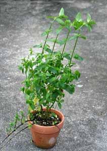 剪定前のキューバミントの鉢植え