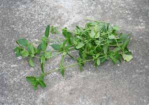 キューバミントの葉の収穫