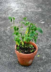 剪定後のキューバミントの鉢植え