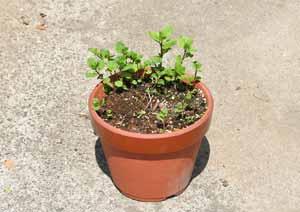 越冬後のジンジャーミントの鉢植え