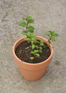 ジンジャーミントの苗の植え付け