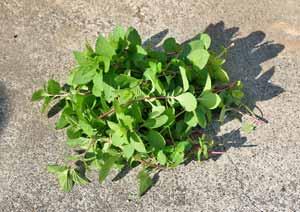 ジンジャーミントの葉の収穫