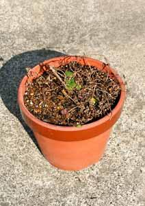 冬越し中のジンジャーミントの鉢植え